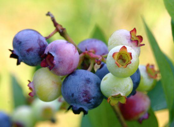 蓝莓、干贝与果酱,生活中的苯甲酸